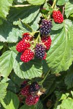 Closeup Of Organic Garden Blackberries Ripening On Blackberry Bush
