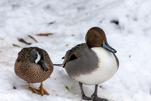 Northern Pintail Duck And Blue...