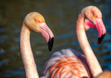 Portrait Of Two Pink Flamingos At Sunset On A Lake