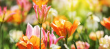 Fototapeta Tulips - Tulpen in roten und gelben Farben und Mustern
