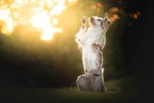Dog Border Collie During Sunset