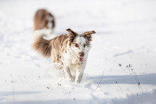 Dog Border Collie In The Snow
