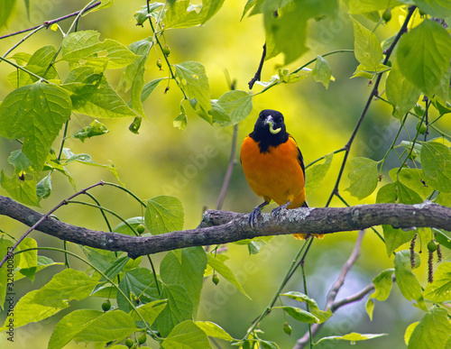 Baltimore oriole with worm in tree at Arnold Arboretum in Boston Canvas Print