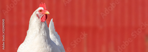 Photo A close up of an adult (Rhode Island White) hen chicken against a red barn