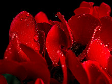 Red Flower Petals With Drops O...