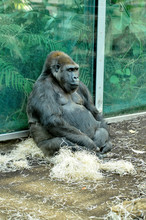 The Big Gorilla Is Resting On ...