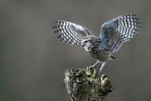 Cute Burrowing Owl (Athene Cun...
