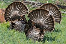 Male Wild Turkey Displaying His Feathers