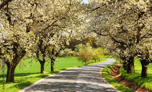 Fotografie, Obraz road and alley of flowering cherry trees