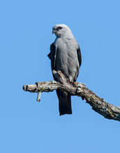 Mississippi Kite On A Perch