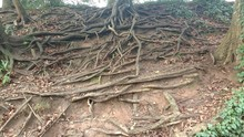 Exposed Tree Roots From Soil Erosion