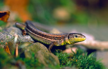 Meadow Lizard / Kaukasische Wi...