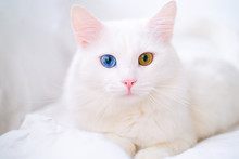 White Cat With Different Color Eyes. Turkish Angora. Van Kitten With Blue And Green Eye Lies On White Bed. Adorable Domestic Pets, Heterochromia.