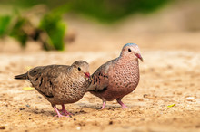 Common Ground Doves Male And F...