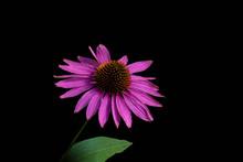 Narrow-leaved Purple Coneflowe...