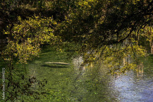 manatee swimming in a spring under oak tree in Florida
