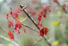 Closeup Of Maple Tree Seedpods...