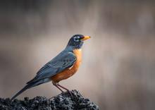 American Robin – Turdus Migratorius Closeup
