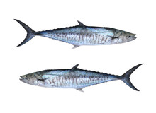 Fresh Pacific King Mackerels Or Scomberomorus Fish Isolated On White.