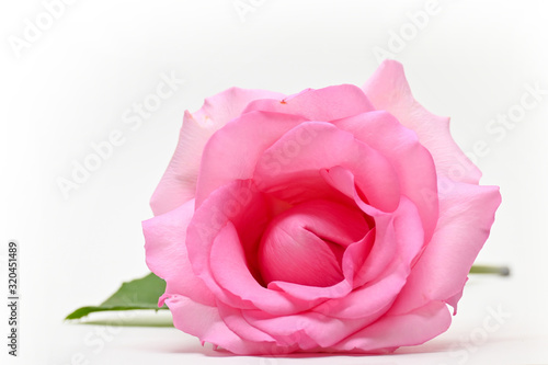 Foto beautiful pink rose flower isolated on white background, concept image of couple