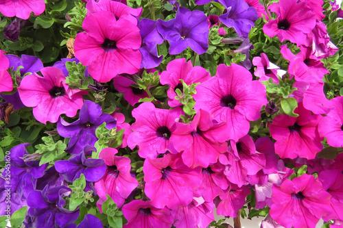 Petunien (Petunia) Blüten in vielen bunten leuchtenden Farben