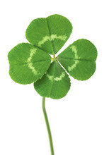 Perfect Lucky Four Leaf Clover Isolated On White