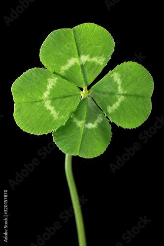 Fototapeta Perfect lucky four leaf clover isolated on black