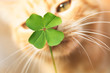 Beautiful orange tabby cat sniffing a lucky four leaf clover. Finding a lucky or special cat concept.