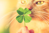 Fototapeta Kawa jest smaczna - Beautiful orange tabby cat sniffing a lucky four leaf clover. Finding a lucky or special cat concept.