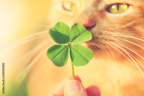 obraz PCV Beautiful orange tabby cat sniffing a lucky four leaf clover. Finding a lucky or special cat concept.
