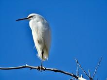 Great White Egret On Blue Back...