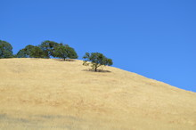 Golden Grassy Hill With Trees