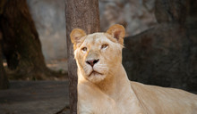 A Beautiful Female White Lion Lying On A Wooden Platform And Looking Strongly With Her Blue Eyes In The Forest.
