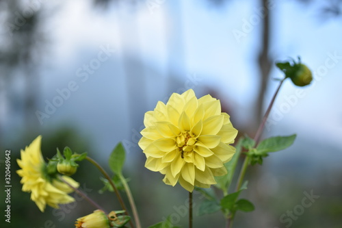 Yellow dahlia flower Wallpaper Mural