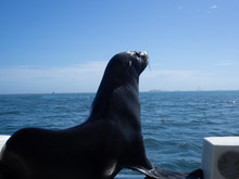 Seal On Ship Watching In The D...