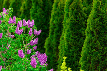 Purple Lilac Flowers With Gree...