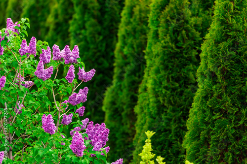 Purple lilac flowers with green thujas in garden