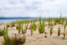 Close Up On Grass In The Sand On A Beach In Cuba.