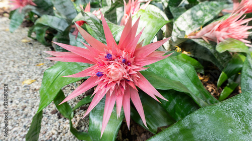 A close up photo of exotic pink aechmea fasciata flower in a natural habitat for magazines, calendars, wallpapers. Landscape design with aechmea acmea and gravel crumb