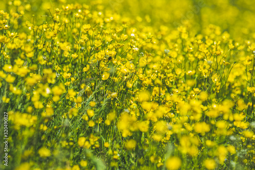 Yellow Ranunculus acris on the Spring Sunny Lawn Wallpaper Mural