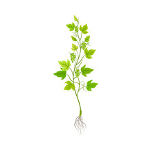 Seedling Of Grape Plant With T...