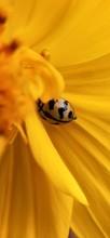 Macro Ladybird Spread Its Wing...