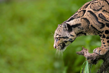 Clouded Leopard, Neofelis Nebulosa, Himalayan Foothills, India. Listed As Vulnerable On The IUCN Red List.