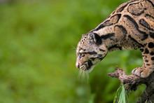 Clouded Leopard, Neofelis Nebu...