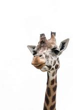 Gorgeous Giraffes With Trees I...