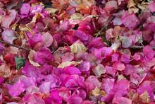 Pink Bougainvillea Flower In G...