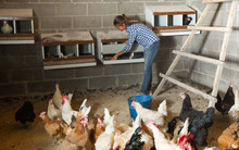 Farmer Woman Feeding Chikens I...