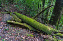 Forest Scene With Old Tree Trunk Covered With Green Moss