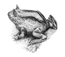 Surinam Horned Frog (Ceratophr...