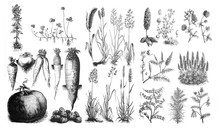 Forage Plants - Antique Engrav...